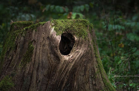 Huge old stump overgrown with moss, with a hollow, located in a large forest, close, Background