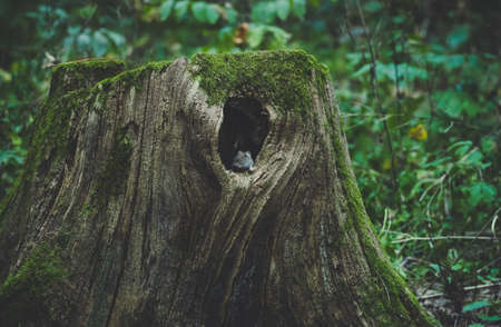 Mouse sitting on the edge of his home - a large hollow tree stump in an old big forest