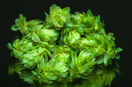 Green hop cones on a dark background grown for brewing beer, and bread as well as a seasoning for food Stock Photo