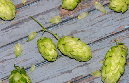 Green hop cones lying on the old wooden painted surface, agricultural background