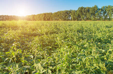monoculture: Field of ripening green organic soybean, agricultural background Stock Photo