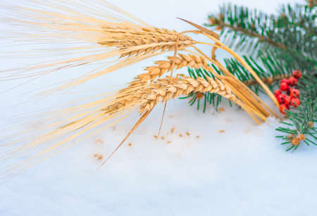 Golden ear of wheat and grain in the snow, red mountain ash, green branch spruce closeup, winter holiday agriculture background