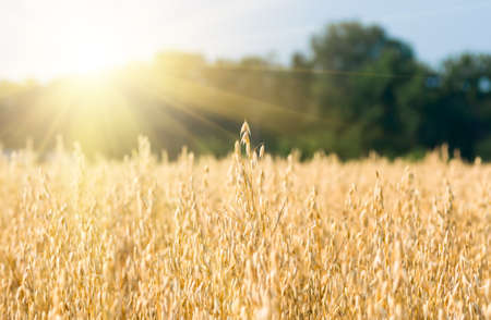 organic golden ripe ears of oats in field, soft focus, closeup, agriculture background Stock Photo