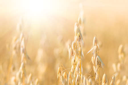 organic golden ripe ears of oats in field, soft focus, closeup, agriculture background