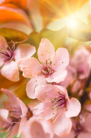 blossoming yellow flower tree: delicate flowers and young leaves of cherry wood sakura, closeup, spring background Stock Photo