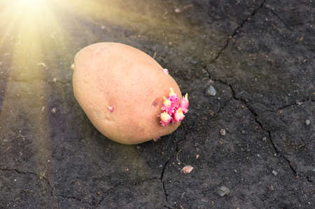 agrarian: potato on the ground, planting sprouted tubers spring, agrarian background Stock Photo