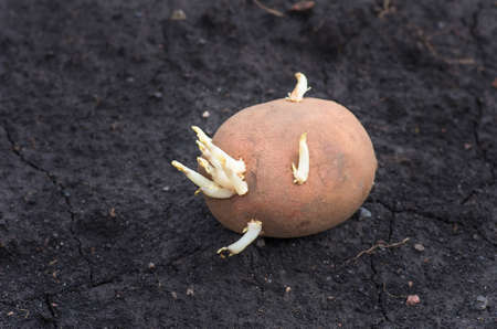 sprouted: sprouted potatoes on the land, agrarian background
