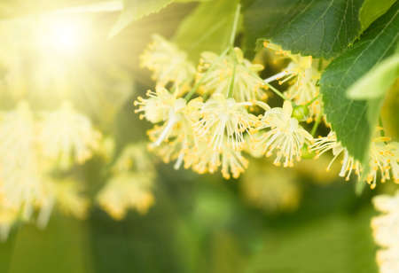 tilo: flowers blossoming tree linden wood, used for the preparation of healing tea, natural background, spring