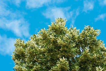 flowers blossoming tree linden wood against the blue sky and cloud, used for the preparation of healing tea, natural background, spring