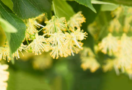 flowers blossoming tree linden wood, used for the preparation of healing tea, natural background, spring