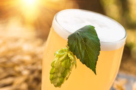 Light foamy beer in a glass and barley ears, and cone hop on natural background. Alcohol Stock Photo