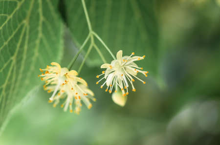 medicaments: flowers blossoming tree linden wood, used for the preparation of healing tea, natural background, spring