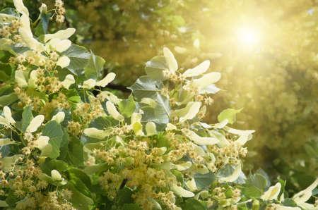 fiori di fioritura di legno di tiglio di albero, utilizzati per la preparazione di tè di guarigione, sfondo naturale, primavera
