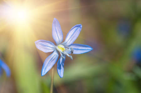 Blue blossom flower spring snowdrops Scilla Squill Soft focus. nature background.