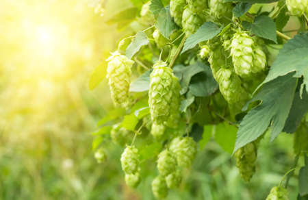 lupulus: Green fresh hop cones for making beer and bread closeup, agricultural background Stock Photo