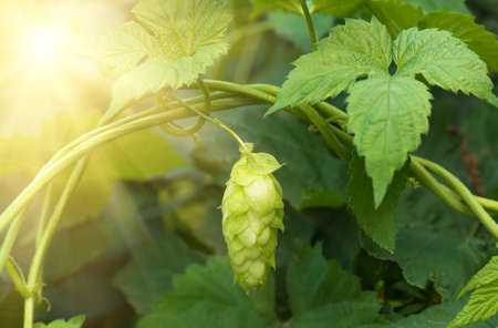 Green fresh hop cones for making beer and bread closeup, agricultural background Stock Photo