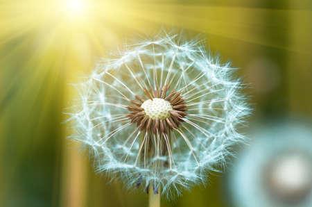 Photo of a dandelion Leontodon closeup on a sunny summer day
