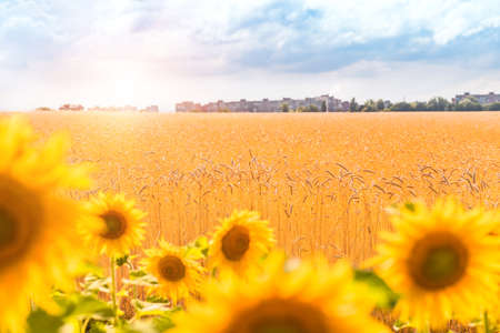 spica: Wheat field and sunflower. Wheat field
