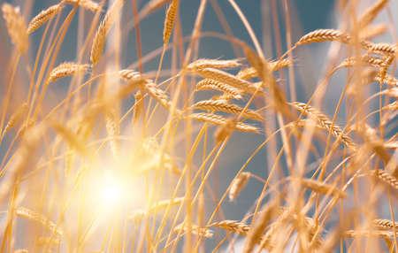 spica: Ears of golden wheat closeup. Wheat field