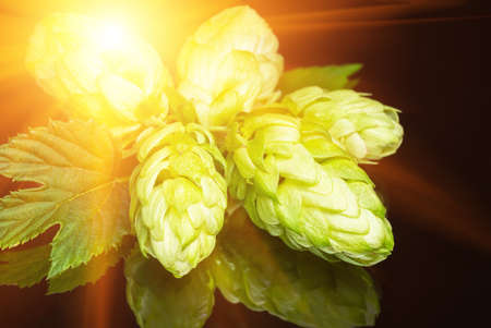 Green fresh hop cone on dark background. Fresh hops cone and leaf. Freshly harvested hop flower for beer and bread making
