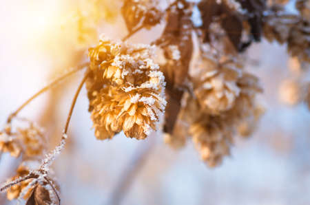 Dry hops covered with snow and hoarfrost in winter closeup Stock Photo