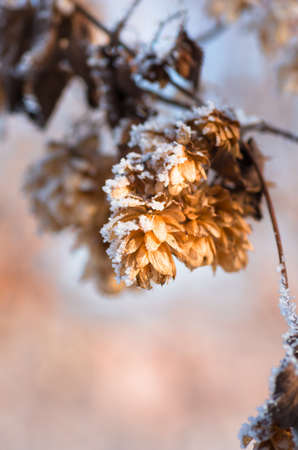 brewery: Dry hops covered with snow and hoarfrost in winter closeup Stock Photo
