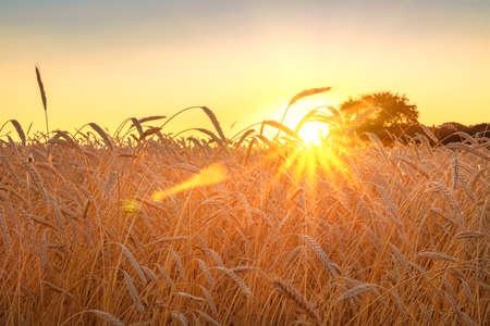 Weizenfeld mit blauem Himmel mit Sonne und Wolken vor dem Hintergrund ist eine Bäume , wenn die Ernte reif ist Standard-Bild