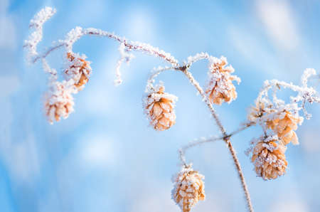 Dry hops covered with snow and hoarfrost in winter closeup Reklamní fotografie
