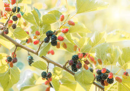 berries of mulberry in foliage ripe on the branches of a tree, closeup