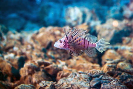 Exotic tropical Devil firefish, or common lionfish -Pterois miles- in aquarium. Stock Photo
