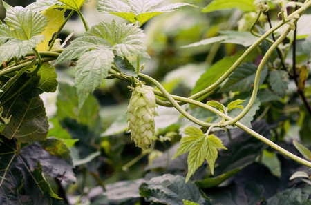 Green fresh hop cones for making beer and bread closeup, agricultural background,