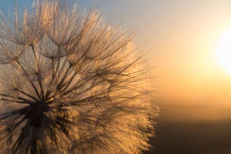 Dandelion closeup against sun and sky during the dawn, meditative summer zen background Imagens