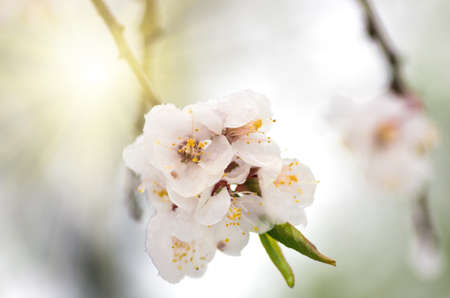 Flowers of apricot tree in spring when fell out the unexpectedly last snow. Flowers in the snow in spring.