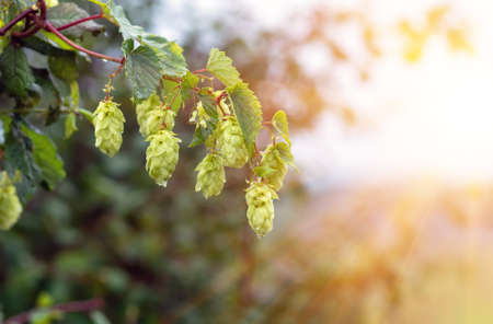 Green fresh hops cones for making beer, el and bread closeup during sunset, agricultural background. Stockfoto