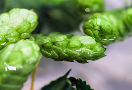 Green fresh hop cones in water for making beer and bread, closeup, agricultural background. Hops lies in the water