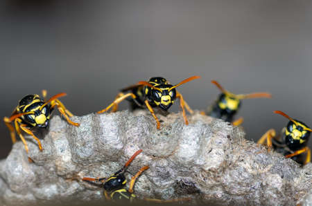 Wasps build a nest. Closeup of a wasp family sitting on a nest. Nature background