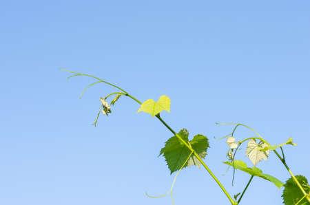 Giovani foglie verdi tenere di uva su uno sfondo di cielo azzurro in primavera