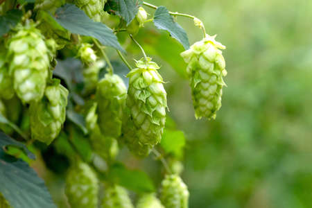 Green hop cones for beer and bread production, closeup. Detail hop cones in the hop field. Agricultural background