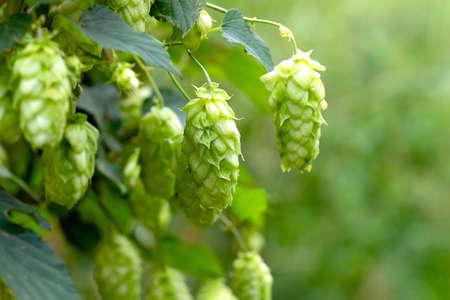 Szyszki chmielowe zielone do produkcji piwa i chleba, zbliżenie. Wyszczególnij szyszki chmielowe w polu chmielu. Tło rolnicze