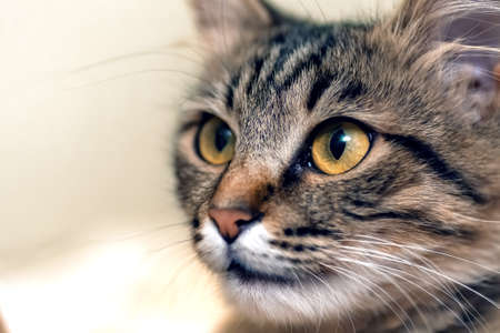 Cute tabby cat with yellow eyes and long whiskers. Close-up portrait of a beautiful cat. Stock Photo
