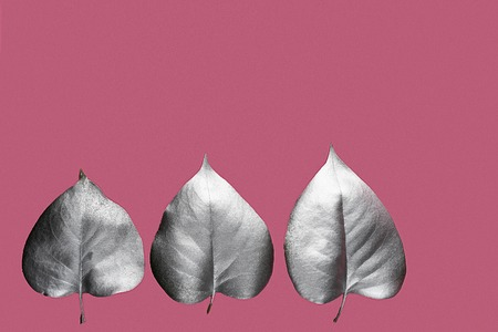 Silver leaves on the pink background. 写真素材