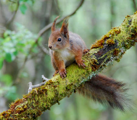 Red squirrel in a tree photo