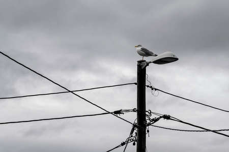 Seagull on lamp post. Electricity, wires and cables