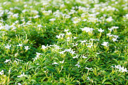 breezy: Meaning of In-da Flower is, The pure white flowers.A flower can bloom all year.
