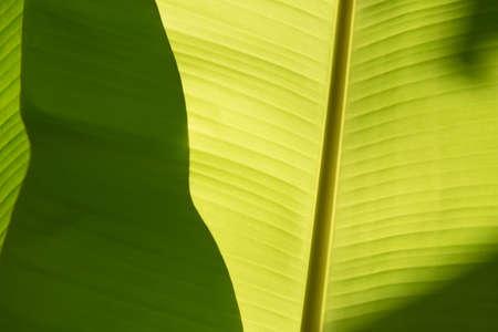 color in: Cuando el brillo de la luz del sol en hoja de plátano. Foto de archivo