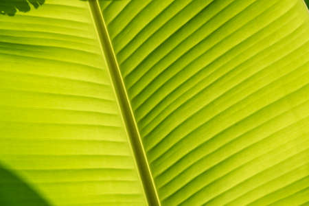Closeup of banana leaf texture, green and fresh, in a garden.