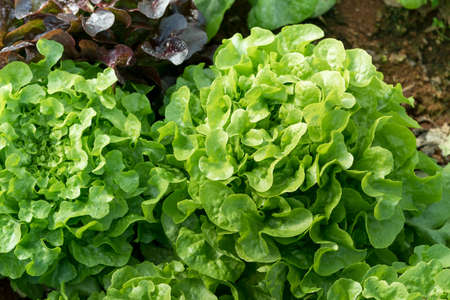 Cultivation organic vegetable Green Oak Lettuce in garden among natural climate. Stock Photo