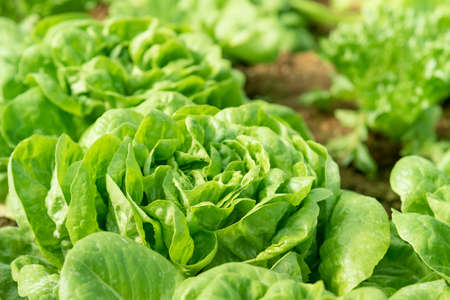 Cultivation organic vegetable Butterhead Lettuce in garden among natural climate.