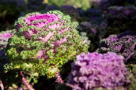 flowering kale: Cultivation ornamental Kale Red Coral in a garden.