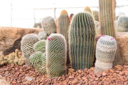 Close up cactus in desert plant garden.